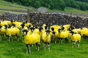 150 sheep in Yorkshire have had their wool dyed yellow