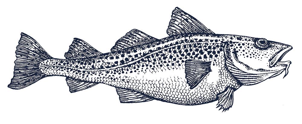 Glacialis – Atlantic Cod LR